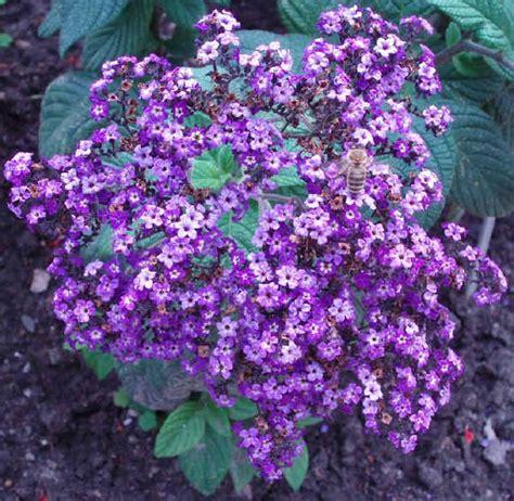 fiori invernali da vaso esterni piante da vaso heliotropium eliotropio vainiglia