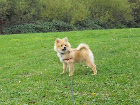 pomeranian 5 months pomeranian puppy nearly 5 months west