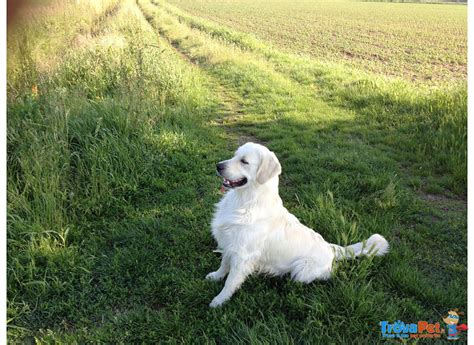 allevamento golden retriever pavia cuccioli golden retriever in vendita a casteggio pv