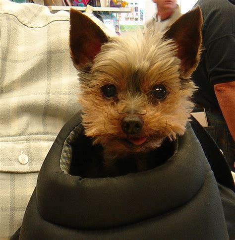 arthritis in yorkies yorkie in a bag a being carried around diss norfolk flickr