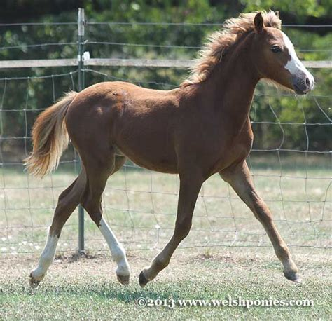 section b pony section b welsh pony colt by wedderlie mardi gras