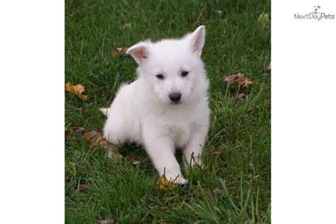 german shepherd puppies omaha german shepherd for sale gorgeous chion white german breeds picture