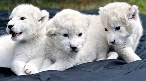 imagenes leon blanco fotos los animales m 225 s caros del mundo