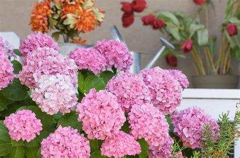 wann schneidet hortensien zurã ck bauernhortensien schneiden hortensien richtig schneiden