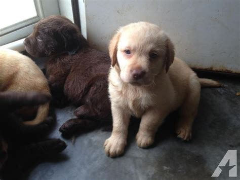 akc lab puppies for sale in nc akc labrador retriever pus for sale for sale in mount gilead carolina