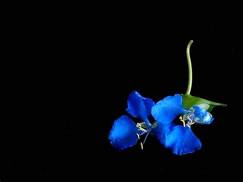 wallpaper desktop love flower moons flower blue flower wallpaper