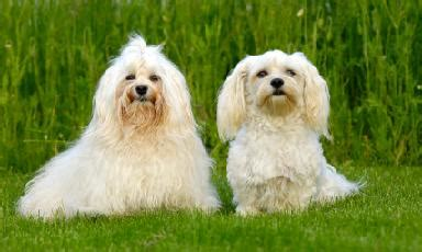 cuban names for havanese dogs havanese breed info pictures puppy images pets world