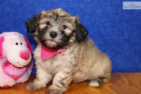 havanese puppies atlanta havanese puppy for sale near atlanta 282ce47b ec51