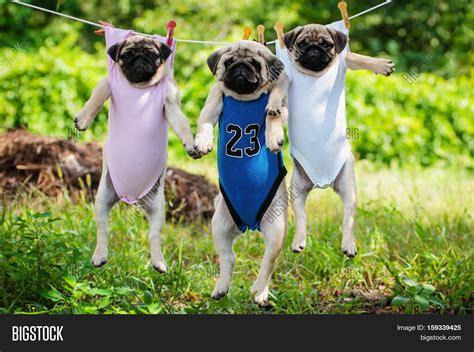 pug puppy weight pug puppies weigh clothesline image photo bigstock