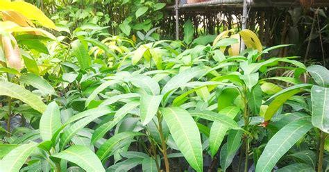 Benih Rambutan Gula Batu bumi hijau nursery 002279488 d benih mangga king