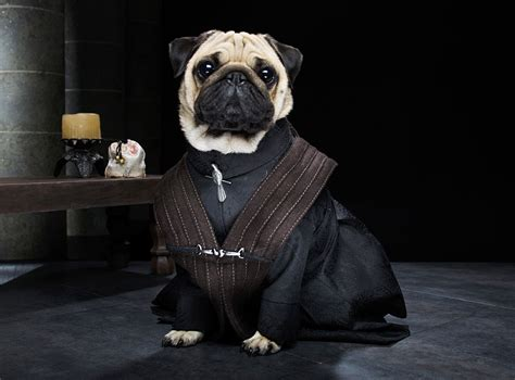 pug of thrones the pugs of westeros three pugs re enact of thrones bored panda