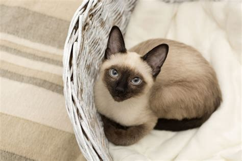 Do Siamese Shed do all cats shed petcha