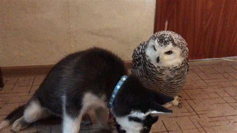 owl husky play time