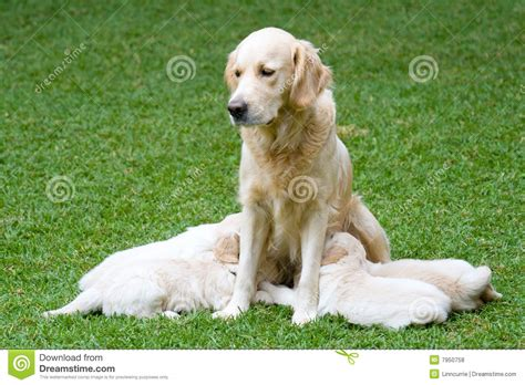puppies nursing beautiful golden retriever puppies nursing royalty free stock photos image 7950758