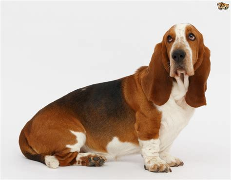 puppy basset hound basset hound breed information buying advice photos and facts pets4homes