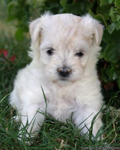 havanese adopt cockernese puppies cocker spanial and havanese mix posot class