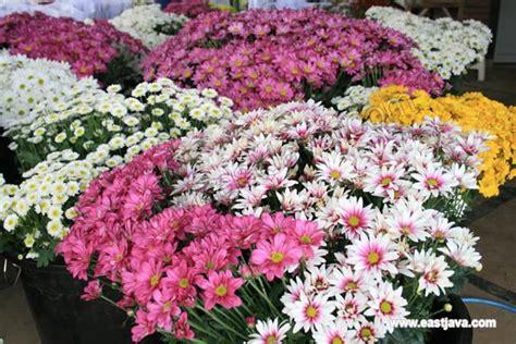 Chrisant Flower pasuruan fas flora east java indonesia a tropical