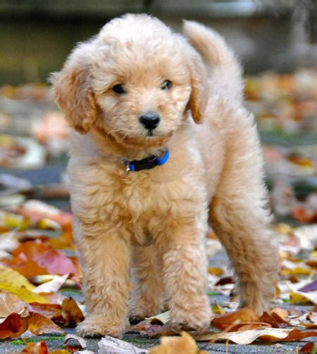 pictures of labradoodle puppies ajax the labradoodle puppies daily puppy