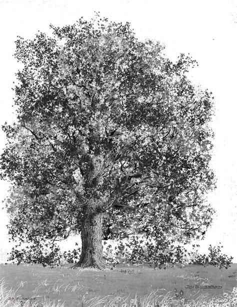 maple tree drawing west virginia sugar maple drawing by jim hubbard