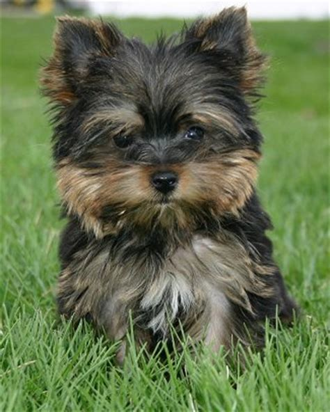 yorkie or maltese yorkie maltese pup 17 comments