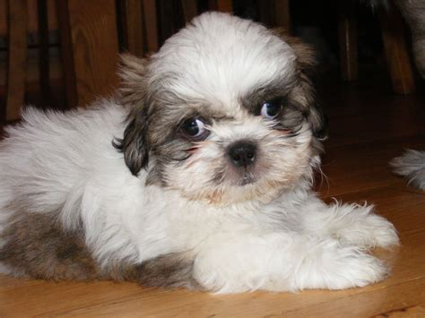 shih tzu puppies free to home free to home newport pagnell buckinghamshire pets4homes