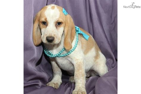 miniature yorkies for sale in tulsa beagle puppies for sale in tulsa breeds picture
