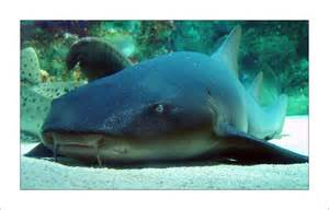 Guide To Aquascaping Fish Bio Nurse Sharks Ginglymostoma Cirratum Aquaec