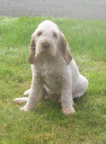 Years ago for sale dogs italian spinone ellesmere