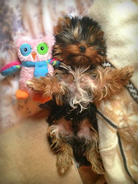 why does my yorkie sleep so much 12 reasons why you should never own terriers
