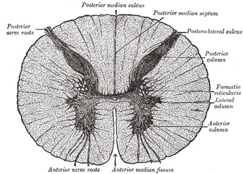 Anterior Section by 1