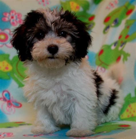 pictures of a havanese havanese puppy pictures puppies puppy