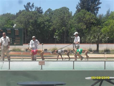 bonita track lined up before the race foto naples fort myers greyhound track bonita springs