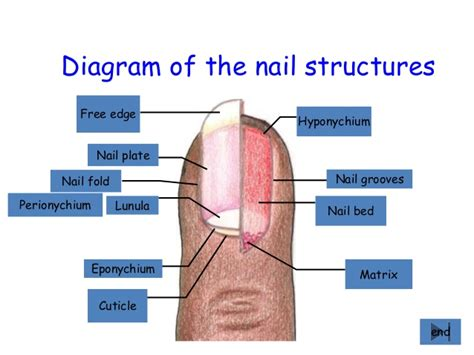 diagram of diagram of the nail structures