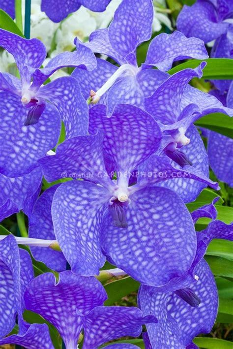 vanda orchids orchid blue vanda flowers flowers flowers