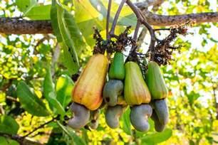 cashew nut fruit tree how to grow cashew trees ebay