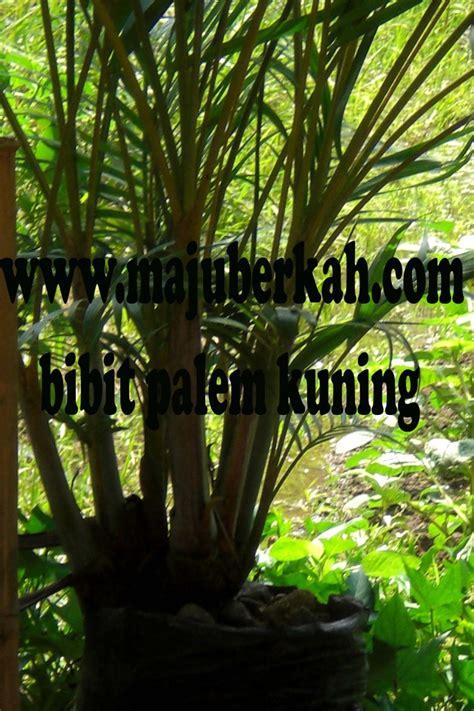 Benih Cabai Hias Bandung jual tanaman tanamanbaru