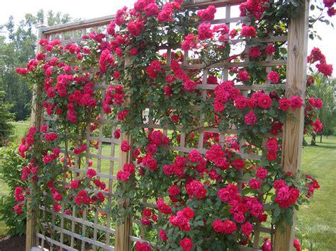 Tips on planting climbing roses on a rose trellis my garden
