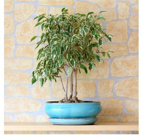 Indoor Plants Singapore by Weeping Fig Tree Plant Ficus Benjamina