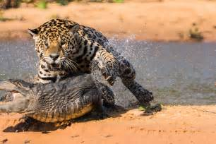 Enemies Of Jaguars War Of Predators Jaguar Vs Caiman 2 Pravdareport