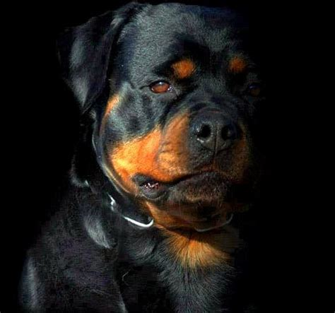 rottweiler barking sounds 17 best images about rottie on for dogs puppys and rottweiler
