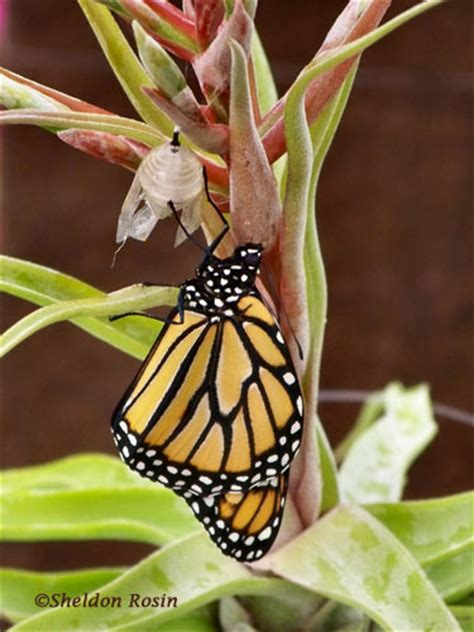 tropic plants tamarac monarch from chrysalis to butterfly in tropic plants