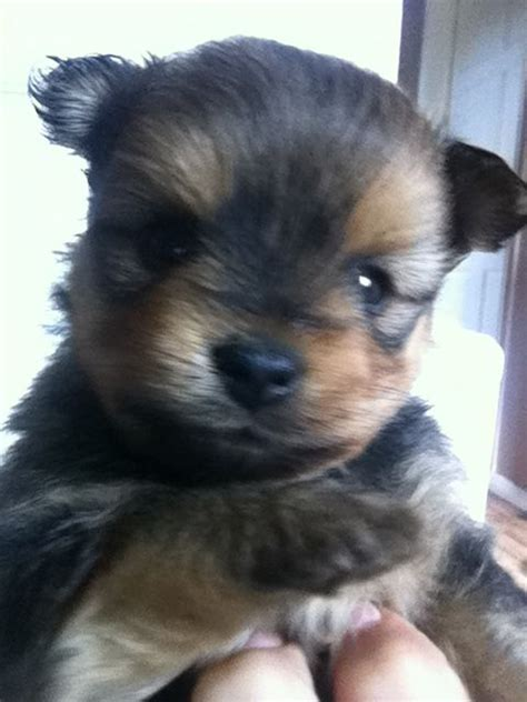 terrier and pomeranian mix terrier x chihuahua chorkie ready now 400 posted 2 months breeds picture