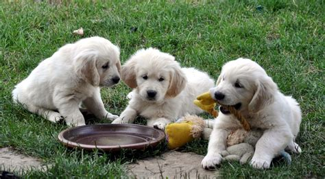 how big do golden retrievers grow ambersclan golden retrievers litters puppies for sale