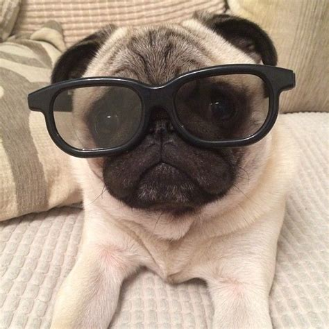 pug with glasses 18 best images about pug clothes on bunnies a cow