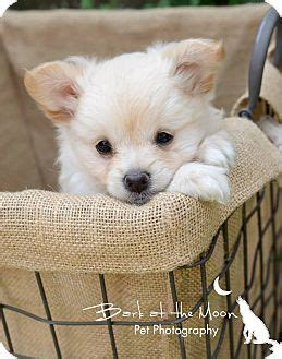 dogs for adoption in ma lola puppy adopted puppy worcester ma pomeranian chihuahua mix