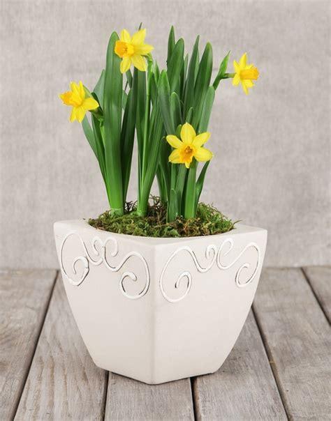 Daffodil Planter by Buy Daffodil Plant In Square Pot Netflorist