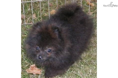 pomeranians for sale in syracuse ny pomeranian puppy for sale near syracuse new york 95cfb8f7 0c01