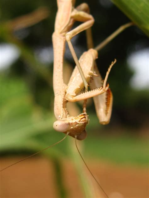 praying mantis change color praying mantis