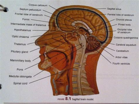 Human Brain Sagittal Section by Lab Review Lab For Human Anatomy Biology 201 With Aaron