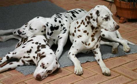 dog houses for sale in india best non indian dogs breeds to own in india pets world
